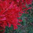クリスマスカラーの紅葉