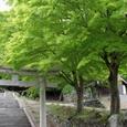 神社の新緑