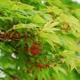 新緑と赤い実